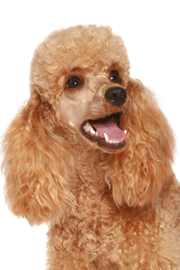 Close-up, apricot poodle puppy (1year) royalty free stock image