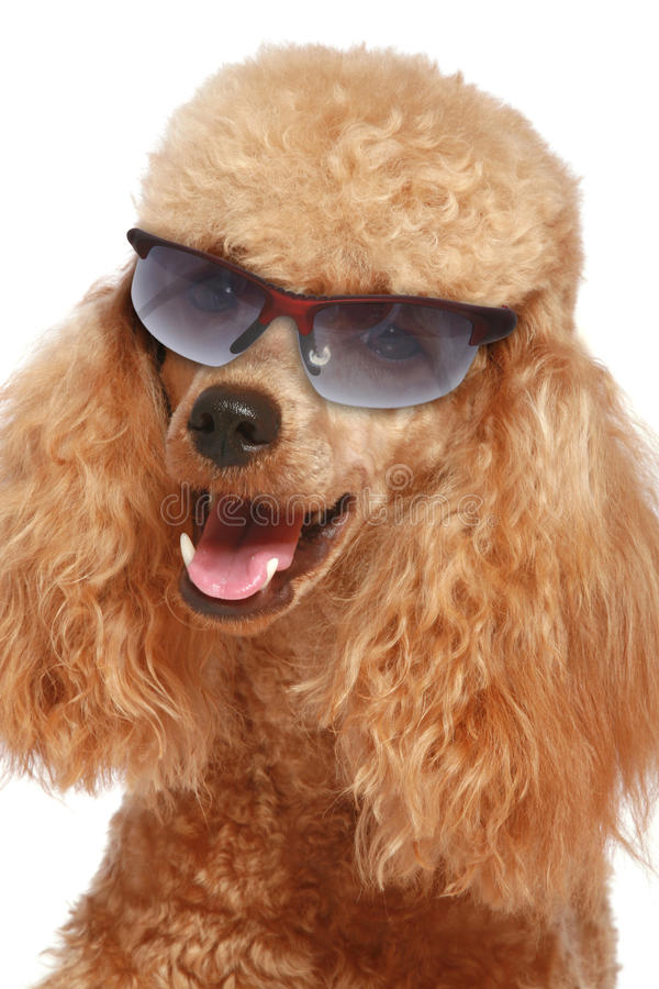 Close-up, apricot poodle puppy in sun glasses. Isolated on white background royalty free stock photography