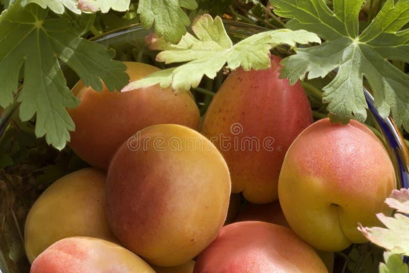 Download Organic apricots stock photo. Image of closeup, summer - 15399860