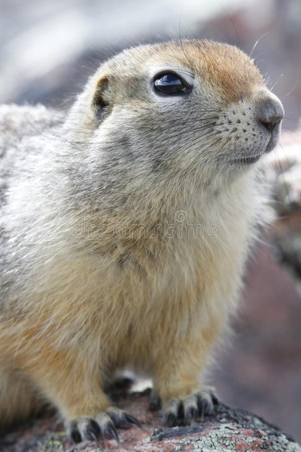 Close-up of an Arctic Ground Squirrel standing on a rock near Baker Lake. Nunavut Canada stock photos