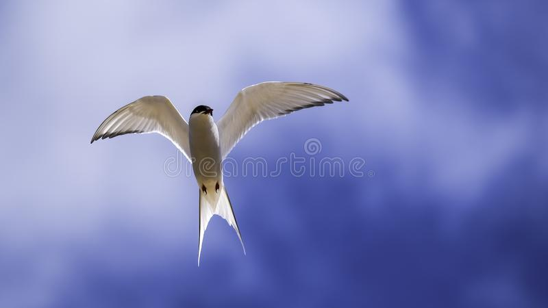 Arctic tern hovering in the sky royalty free stock images