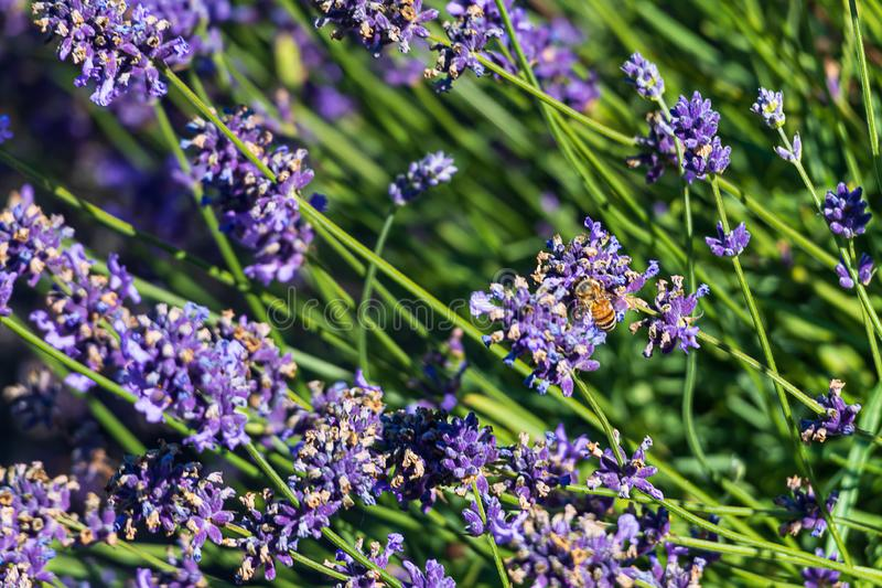 Close up of aromatic purple lavendeer sprigs  and a honey bee with background leaves. In sunshine stock images