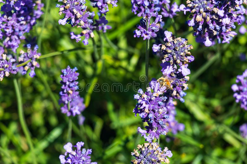 Close up of aromatic purple lavendeer sprigs  and a honey bee with background leaves. In sunshine stock photo