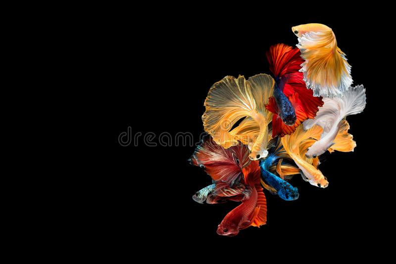 Close up art movement of Betta fish,Siamese fighting fish. Isolated on black background with copy space.Fine art design concept royalty free stock photography