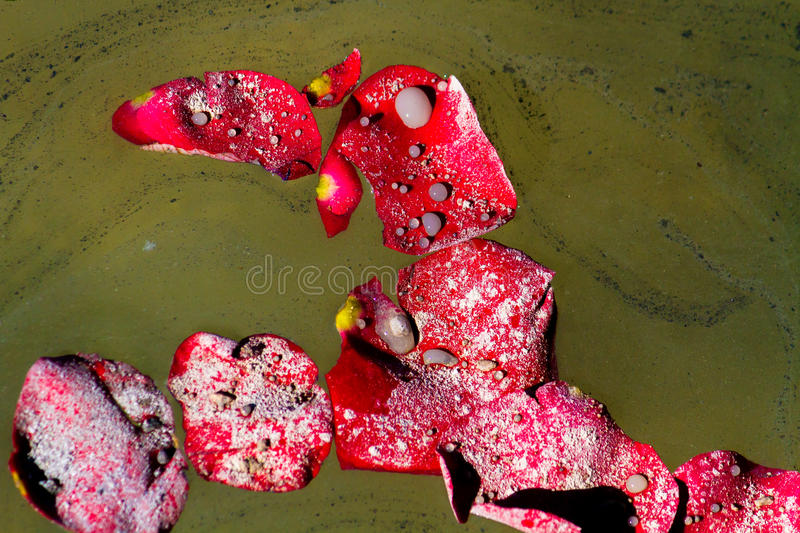 Close Up Ashes On Rose Petals. Close up of rose petals floating on a lake with the ashes of a loved one royalty free stock image