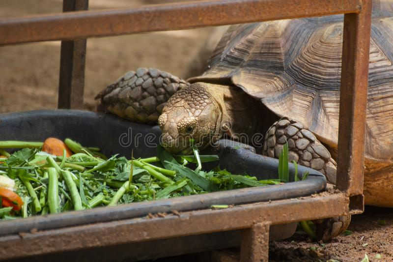 Close up Asian giant and Sulcata tortoise Grab the grass and fruit in the zoo stock photo