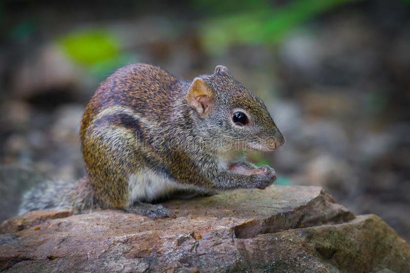 Close up of Asiatic striped squirrel. (Striped squirrel) in nature at Kaengkracharn national park,Thailand stock image