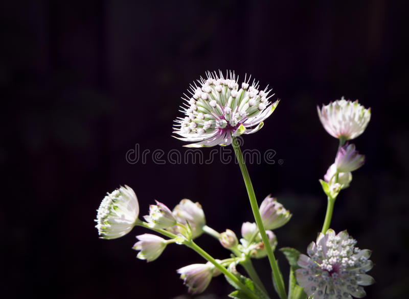 Close-up of astrantia flowers in sunlight. Close-up of the herbaceous plant astrantia in sunlight with dark background royalty free stock photo