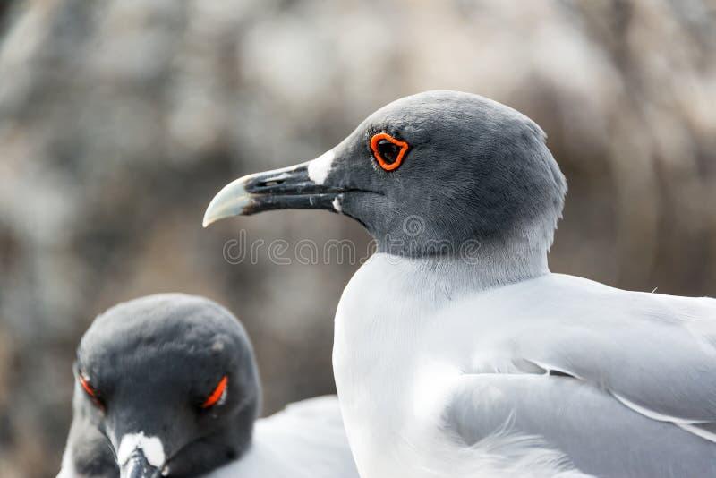 Close up atado andorinha da gaivota fotos de stock royalty free