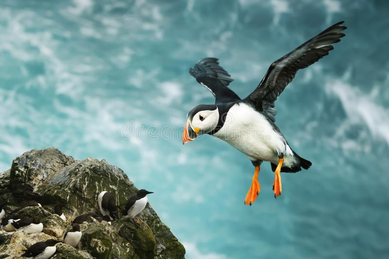 Close up of Atlantic puffin in flight royalty free stock image