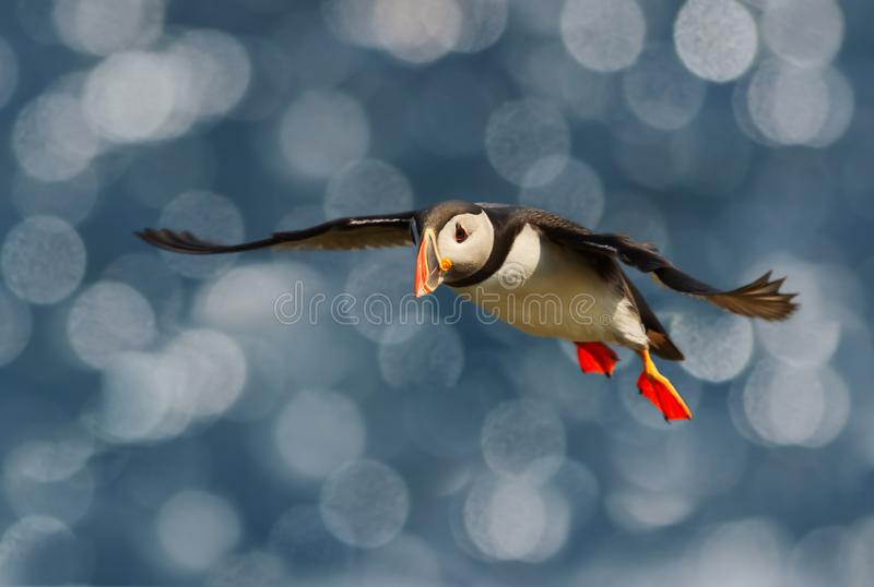 Close up of Atlantic puffin in flight royalty free stock photography