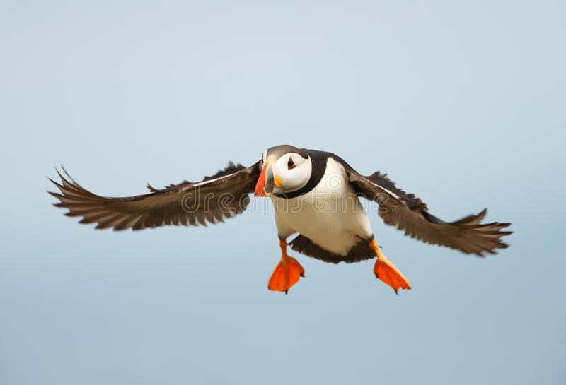 Close up of Atlantic puffin in flight stock photo