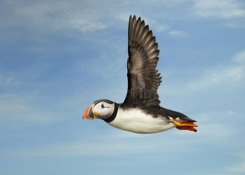 Close up of Atlantic puffin in flight stock images