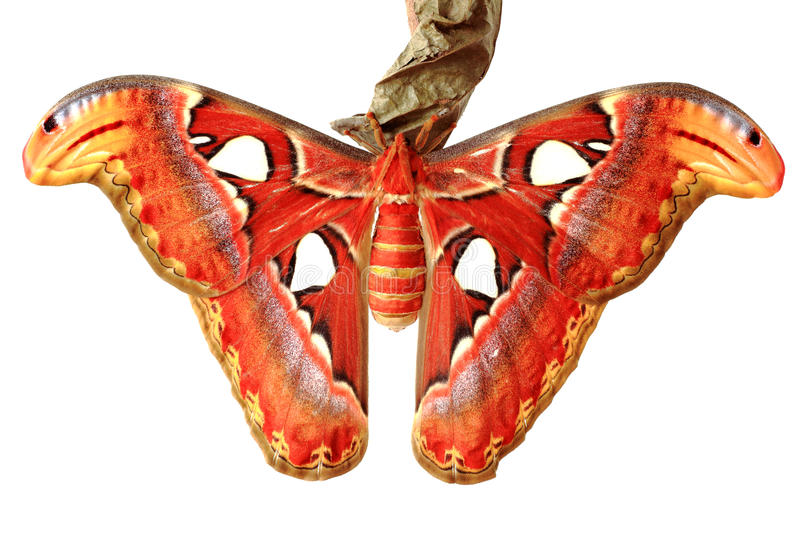 Close up of the attacus atlas butterfly stock images