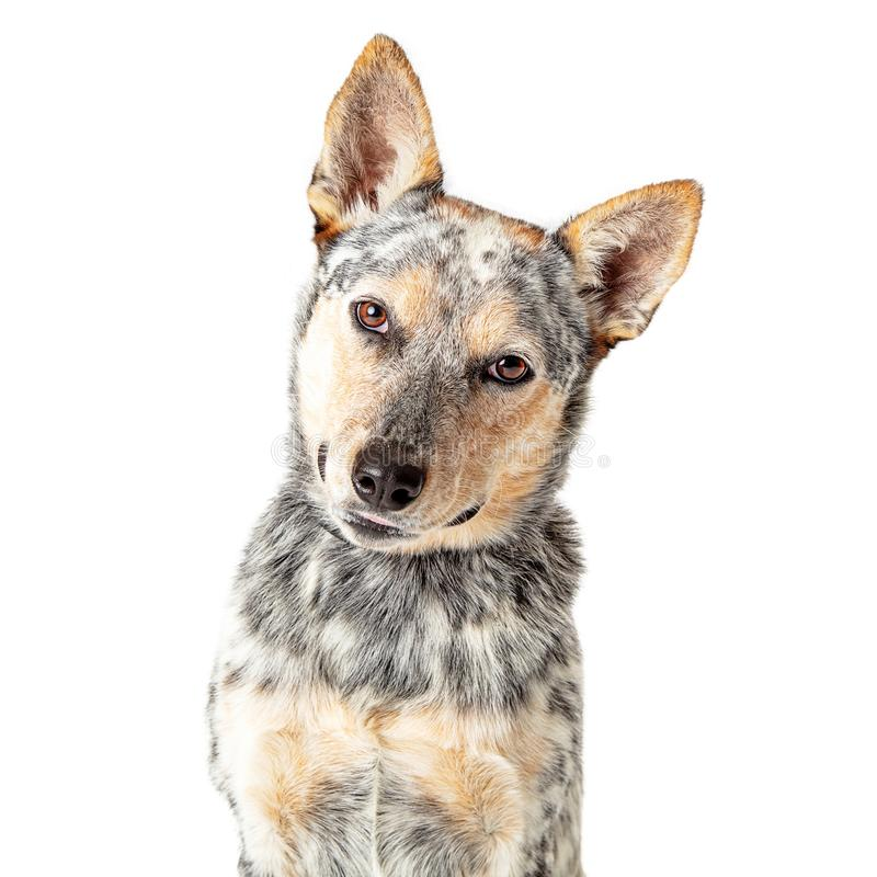 Close-Up Attentive Cattle Dog Tilting Head. Closeeup portrait photo of Australian Cattle mixed breed dog facing forward tilting head and looking at camera stock image