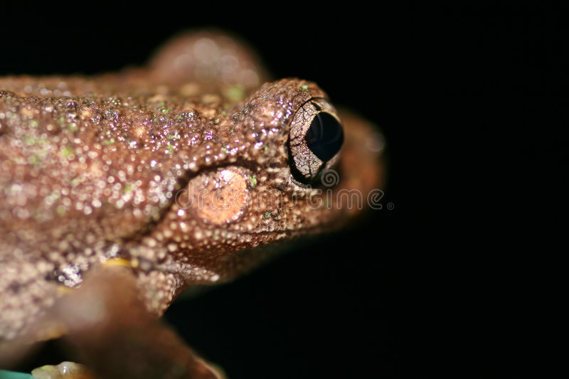 Close up of an Australian Frog royalty free stock photography
