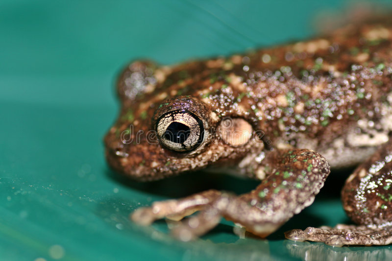 Close up of an Australian Frog royalty free stock images