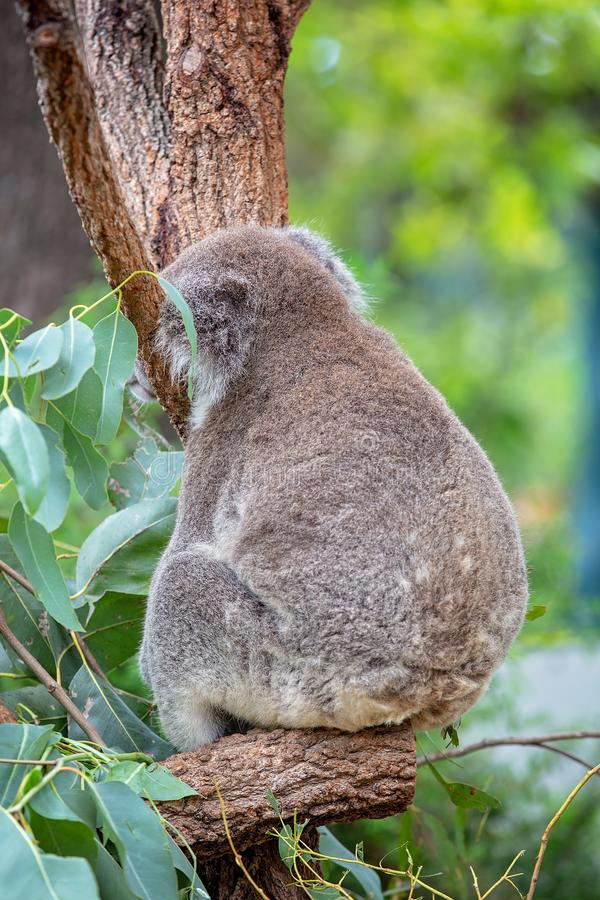 Close-up Of A Koala Bear Asleep In A Tree royalty free stock image