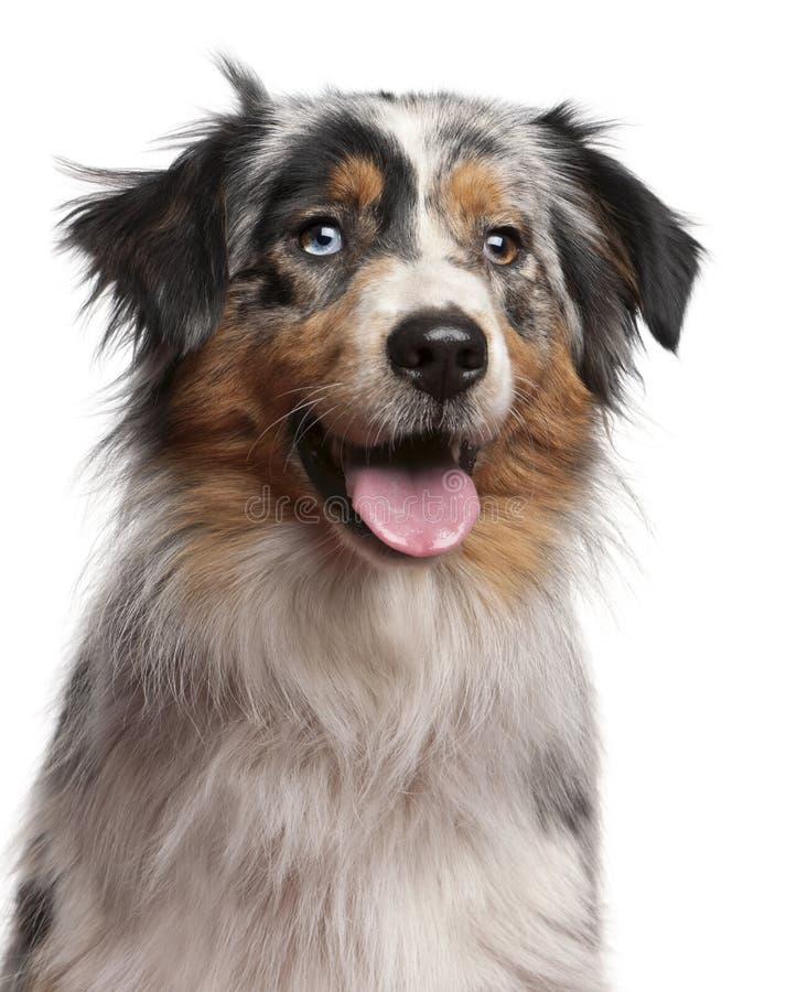 Download Close-up Of Australian Shepherd Dog, 1 Year Old Stock Image - Image: 17125285