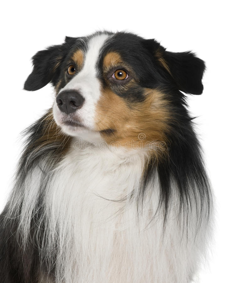 Download Close-up Of Australian Shepherd Dog, Looking Away Stock Image - Image: 12910117