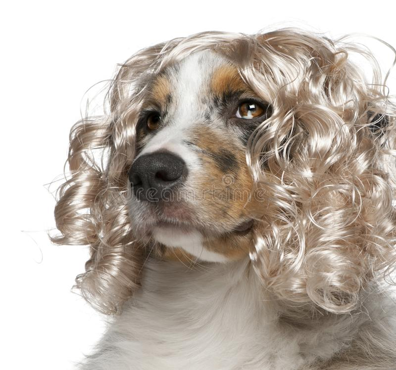 Close-up of Australian Shepherd puppy wearing a wig royalty free stock photo