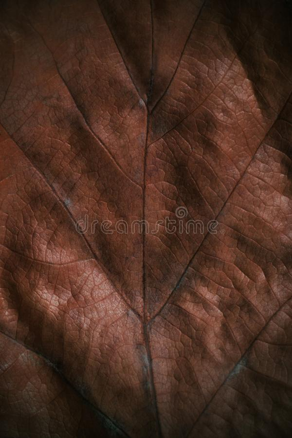 Close up of autumn brown leaf texture - fall background stock photos