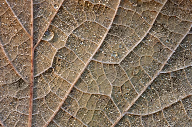 Close up of an autumn leaf. Macro close up of an autumn leaf textured with veins and water drops stock photography