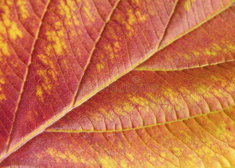 Close-up autumn leaf. Close-up red and yellow autumn leaf royalty free stock image