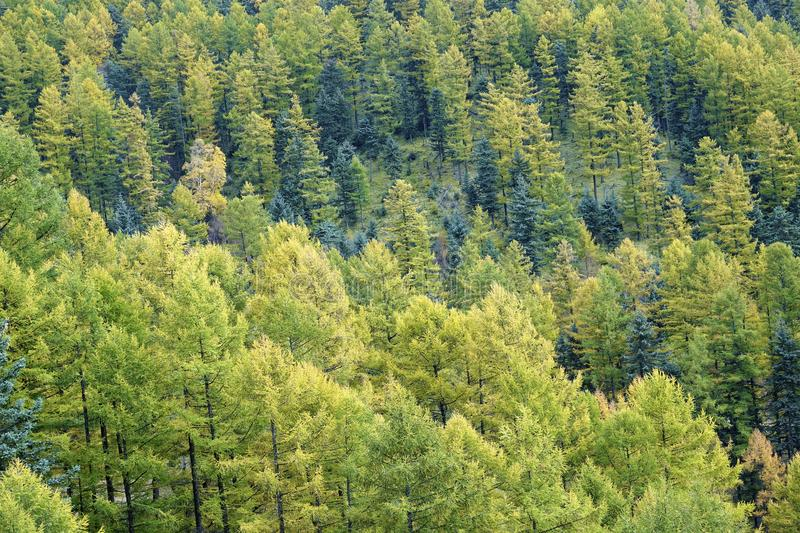Autumnal pine forest. The close-up of autumnal pine forest. Scientific name:Larix principis royalty free stock image