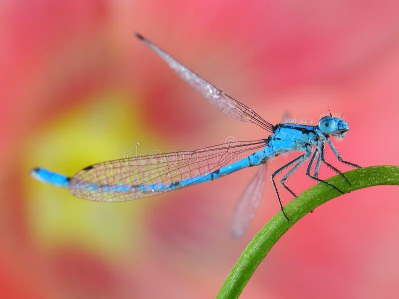 Close up azul do macro do damselfly   foto de stock royalty free