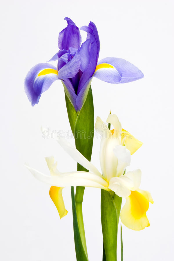 Close up azul e flor branca da íris isolada fotografia de stock