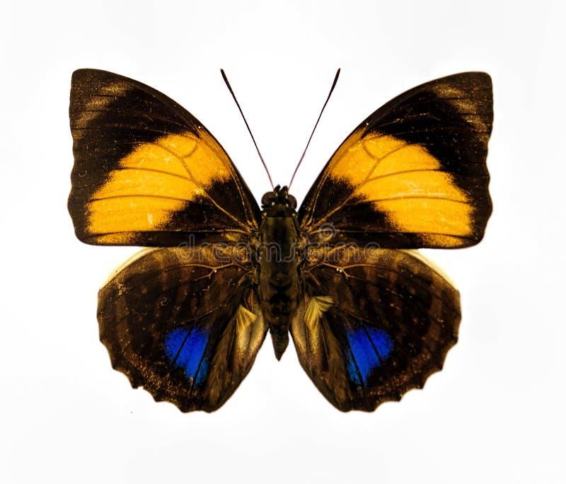 Close up azul e marrom amarelo da borboleta isolado fotos de stock