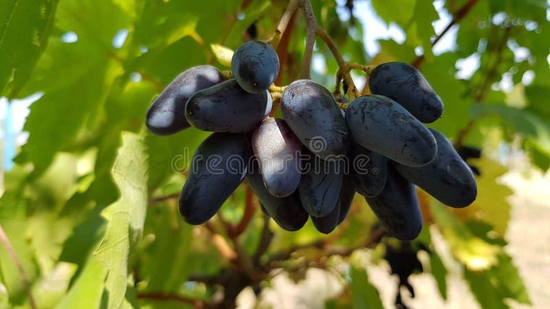Close up azul profundo das bagas da uva Grupo da uva roxa madura que pendura na videira entre as folhas verdes luxúrias na luz so imagem de stock