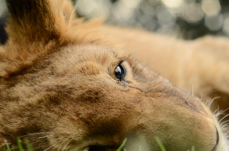 Close-up of baby African lion cub. A Cute playful African lion cub lying on the green grass. Looking at me with his big beautiful eyes royalty free stock image