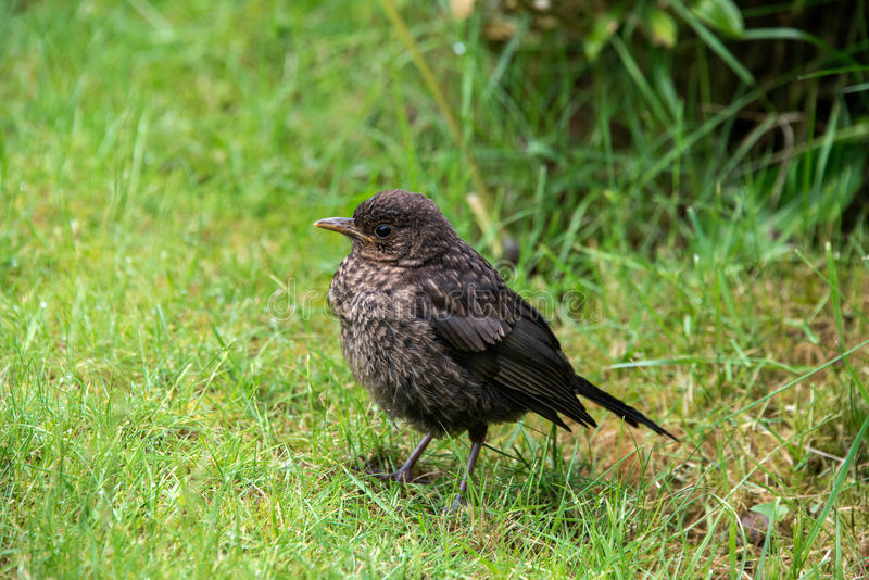 Close up of a baby blackbird royalty free stock images