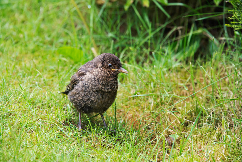 Close up of a baby blackbird royalty free stock photography