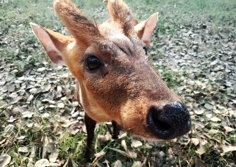 Close up of a baby deer. Watching on camera