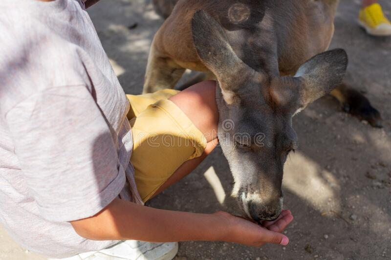 Close-up of a baby hand nursing an Australian Kangaroo. love to the animals.  stock images
