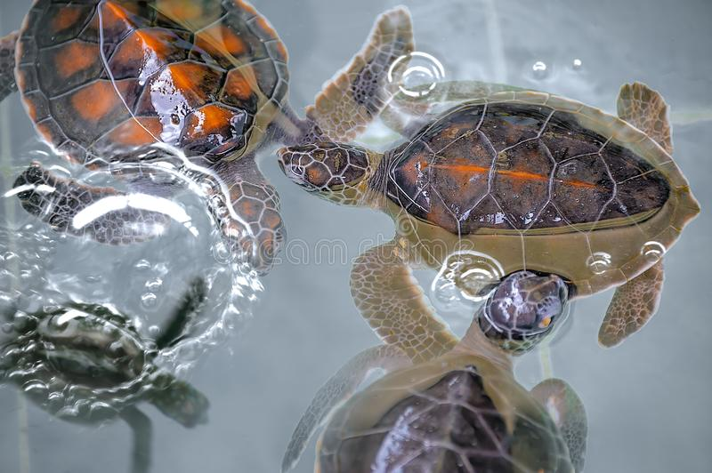Close-up of baby Hawksbill sea turtles. royalty free stock photos