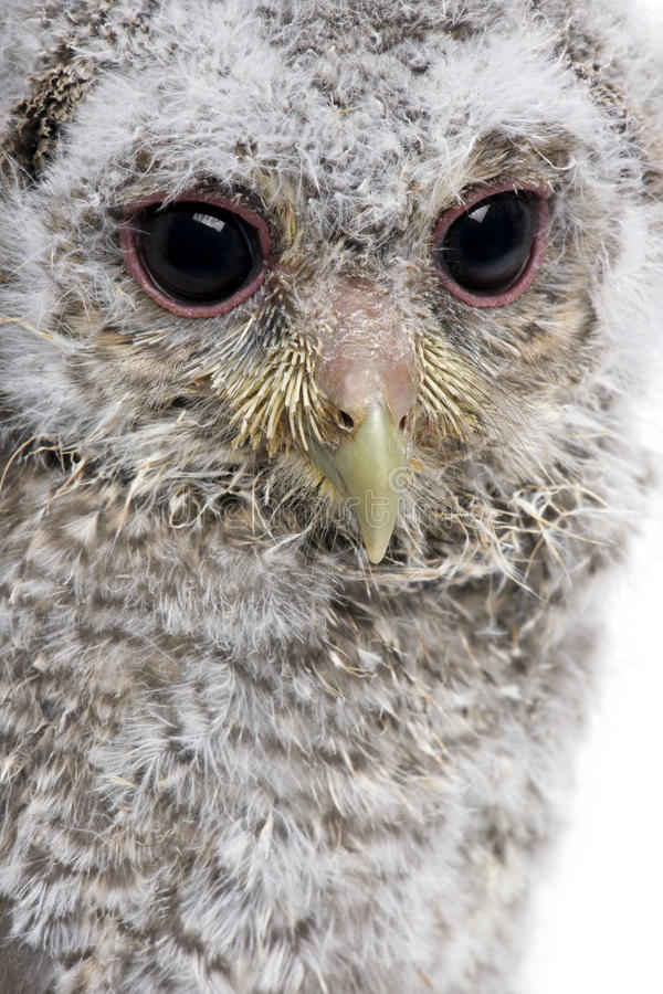 Close-up Of Baby Little Owl, 4 Weeks Old Stock Photography