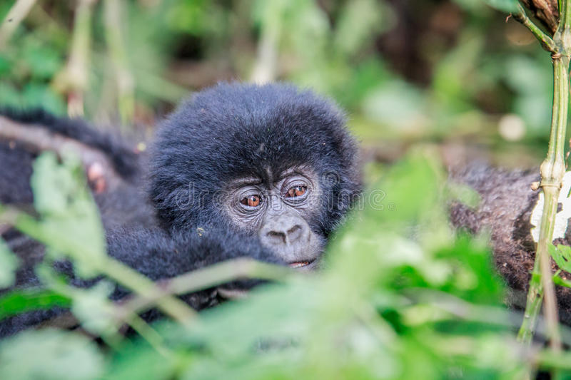 Download Close Up Of A Baby Mountain Gorilla. Stock Image - Image: 83723747