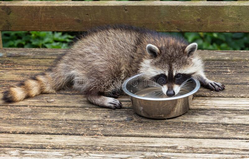 Playful little baby raccoon drinking water on a wooden deck. stock images