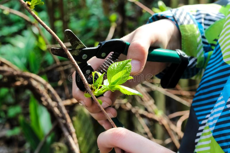 Close up of baby`s hand cutting branch in his garden. Gardener`s hand cuts branch from of bush with pruning scissors. Gardening stock image