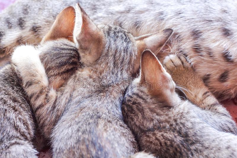 Back of  three baby cat  drinking milk from mother breast , animal family on background royalty free stock photo