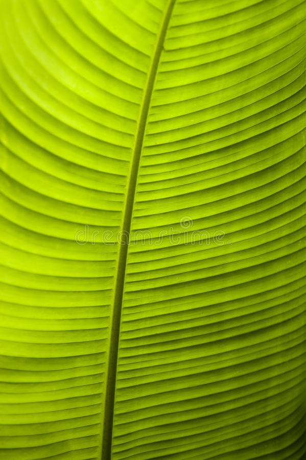 A detailed close up of a backlit banana leaf. The Monteverde Cloud Forest Reserve was established in 1972 and initially covered some 810 acres of forested land royalty free stock photo