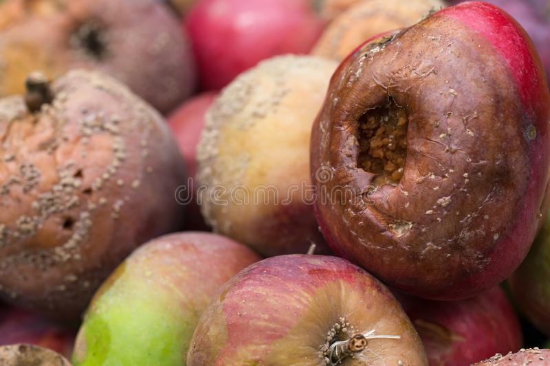 Bad and rotten apples royalty free stock photography
