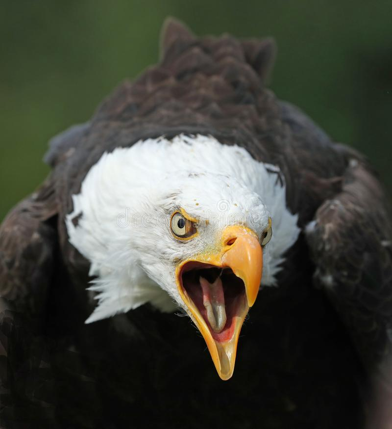Close of an angry looking Bald Eagle calling stock images