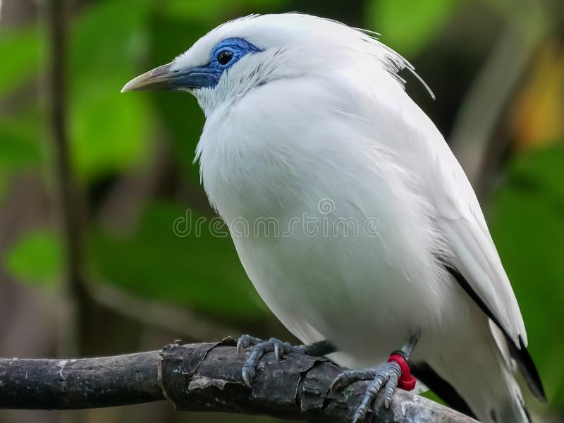 Close up of a balinese starling in bali. Close up of a balinese starling turning around at bali bird park on the island of bali, indonesia stock photos
