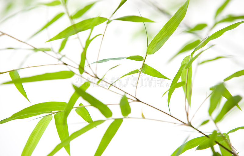 Close up of bamboo leaves royalty free stock photography