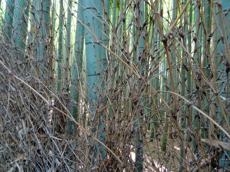 Close up of Bamboo trunks at the Arashiyama Bamboo Forest. View of many trunks of Bamboo at the famous Arashiyama Bamboo Forest in Kyoto stock photo